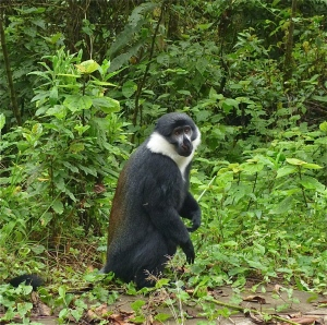 Roadside Greeter: L'Hoest's Monkey