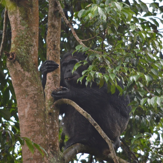 The 1st chimpanzee we saw...