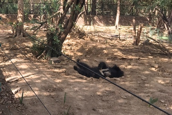 Able to sleep in soft dirt during the daytime, he is a happy bear